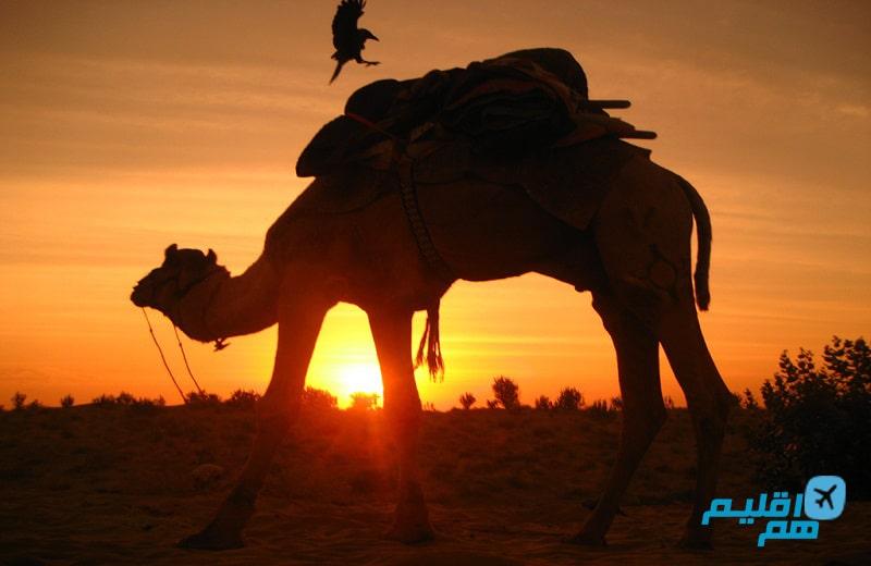 شتر سواری در سافاری دبی